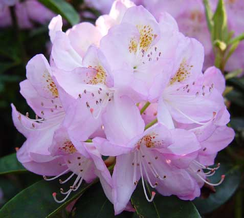 Rhododendrons Grafted On These Rootstocks Are Extraordinarily Lime Tolerant And Develop A Particularly Robust Root System All Reliable Por