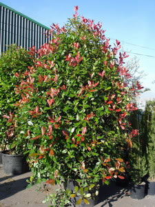 Very tolerant of pruning so can be trained into various - Photinia serrulata red robin ...