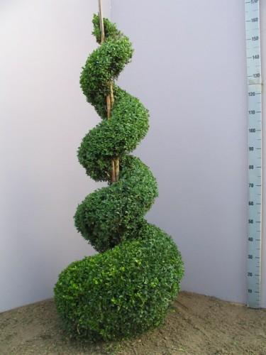 buxus sempervirens spiral. Black Bedroom Furniture Sets. Home Design Ideas