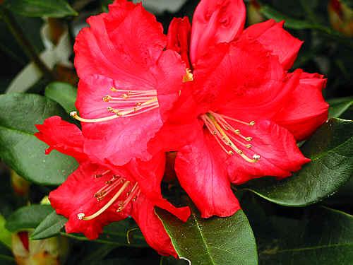 rhododendron grace seabrook. Black Bedroom Furniture Sets. Home Design Ideas